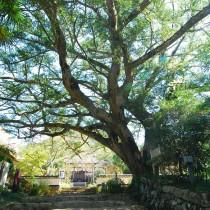圧縮大舟寺「カヤの木」2