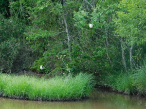 11-モリアオガエルの卵塊
