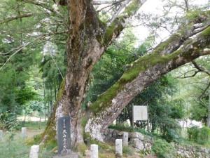 3-カヤの巨木