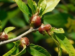 8-クリの木の虫こぶ
