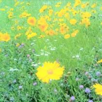 200527富士小周りの黄色い花
