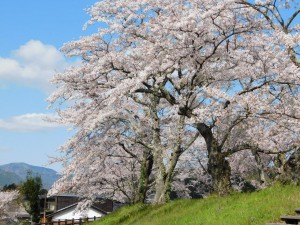 1-水分れ公園手前の桜