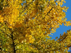 11-黄葉