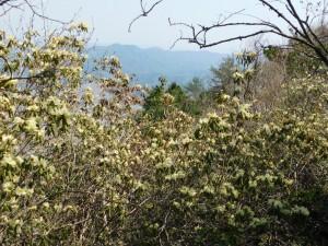 18-稜線のヒカゲツツジ群生