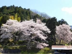 2-観音堂の桜