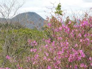 4-羽束山とコバノミツバツツジ