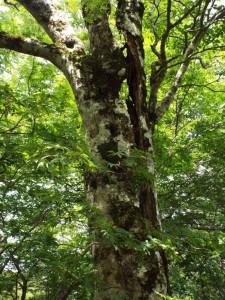 5-ブナの大木