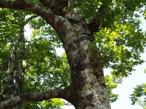 9-ブナの大木