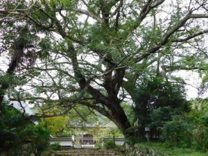 2-カヤの巨木