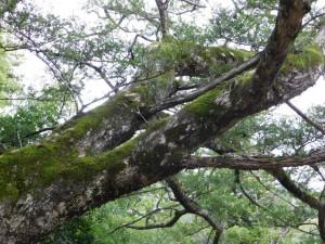 4-カヤの巨木