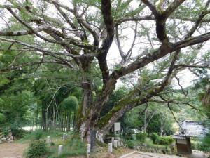 5-カヤの巨木