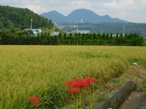 7-ヒガンバナと羽束山