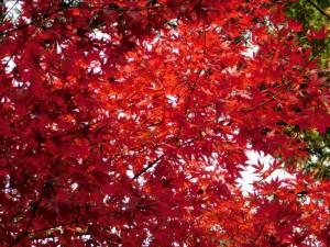 10-紅葉